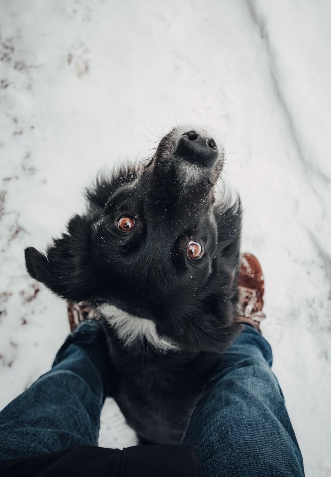 Dog looking up while walking in the snow
